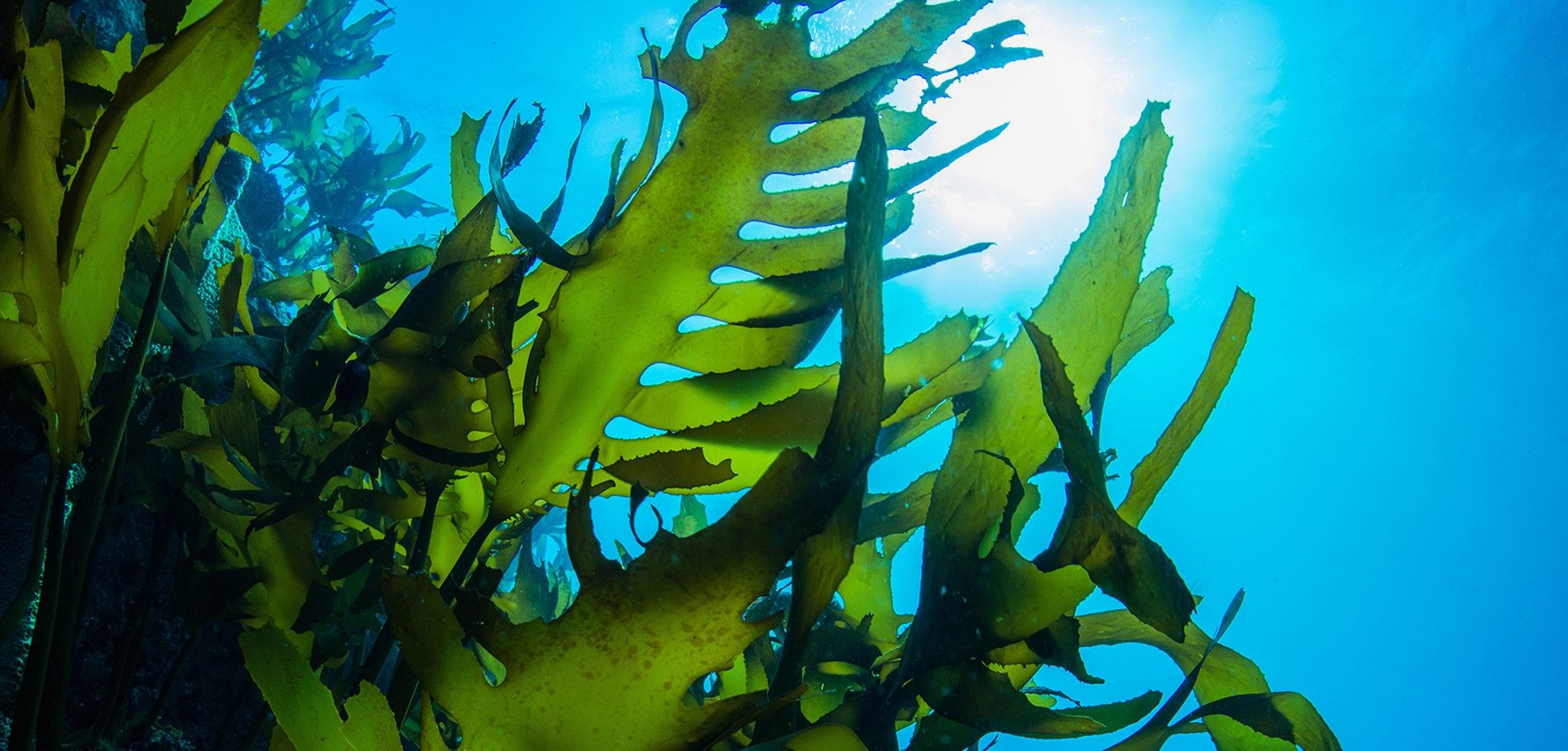 kelp zee natuur beauty